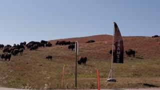 Bison roaming