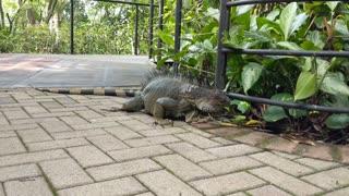 Iguana Eating - Zoo Ave Wildlife Sanctuary in Alajuela, Costa Rica