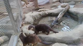 Two cute otters run around.