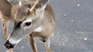 Escorting Deer Back Across the Bridge