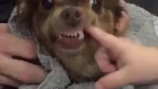 Cute Dog Bites Baby in Super Slow Motion