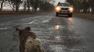 Thirsty Koala Drinks Rainwater off Road