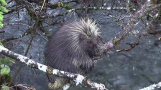 Porcupine is beautiful animal, wildlife