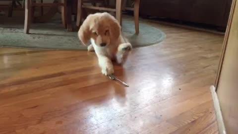 Golden Retriever puppy doesn't trust spoon
