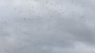 Snow Geese Hurricane