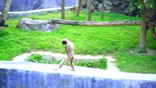 Ape Walking Like A Human