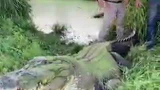 Crocodile riv