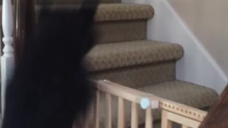 Dog Springs Over Staircase Gate With Ease