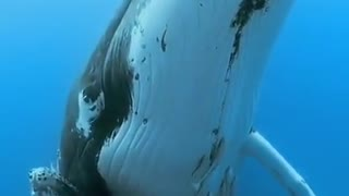 A whale with its calf with its incredible sounds