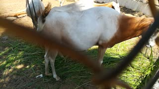 Adorable Pregnant Mother Horned Oryx
