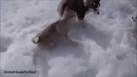 Siberian Husky Puppies Playing in Snow