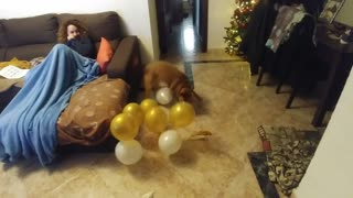Dog totally obsessed with popping balloons