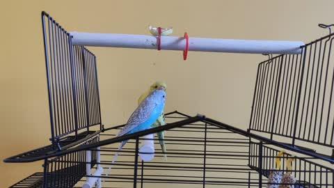 2 parrots kissing
