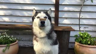 Husky shows tricks