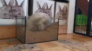 Funny Rabbit digging in sand