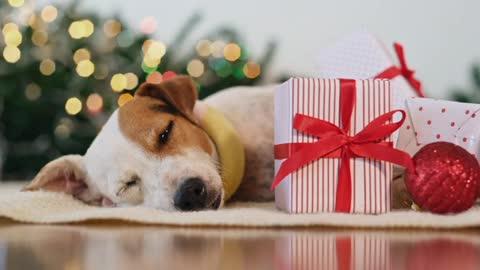 Dog Asleep Around Christmas Decorations