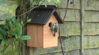 Watch the beautiful bird taking care of its new wooden home. It's really fun to watch