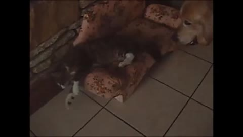 Cat refuses to share couch with dog