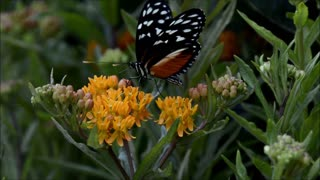 Monarch butterfly eating nectar in flowers