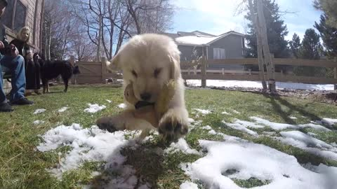Golden Retriever puppy attacks GoPro