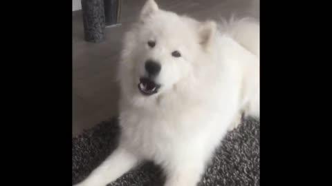 Samoyed dog howling will make you smile