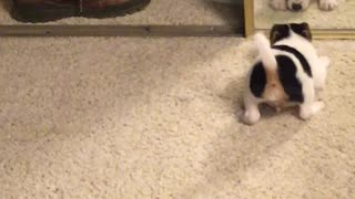 Puppy looks himself in the mirror, does not like what he sees
