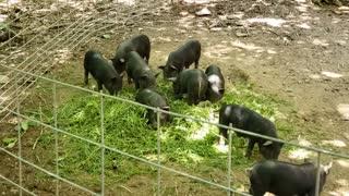 Piglets Grass