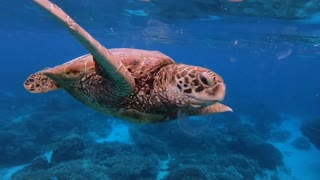 Turtles Dine out on Jellyfish Smorgasbord
