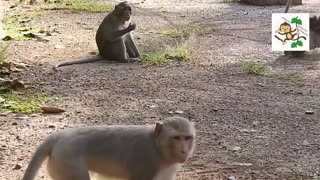 Boom with young monkey enjoy