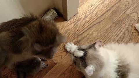 Monkey gives kitty cat loving kiss