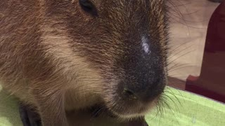 A sweet Capybara!