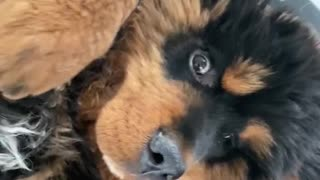 Russian Toy Terrier Bothers Tibetan Mastiff