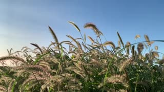 Grasses blowing in the wind - Oahu, Hawaii