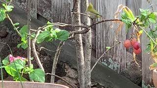 #Back Yard Birds Hawai'i Mejiro or Japanese White Eye