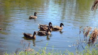 Relaxing Video of Ducks at the Pond