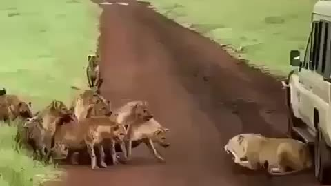 Coyotes and Leo fight
