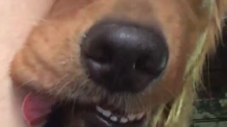Tired Dog Finds Total Relaxation on Its Humans Leg