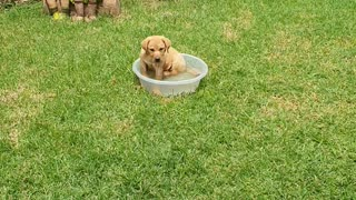 Labrador playing with water bucket