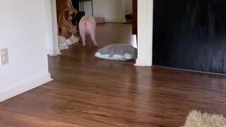 Mastiffs play with their piggy best friend