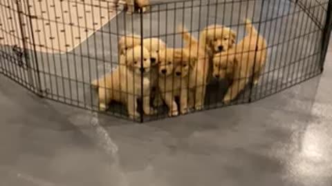 Golden puppy explosion!