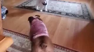 Bulldog plays with puppy Goldendoodle