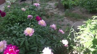 Flowers dahlias.