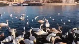 Prague swan