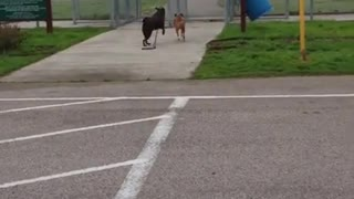 Older dog leads youngster buddy by the leash to the park