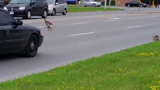 canadaGeese Crossing Road