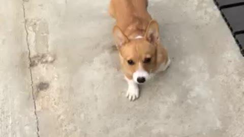 Corgi puppy plays ruff