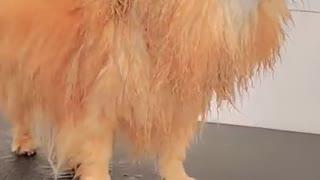 Flying Senior Pomeranian Dog