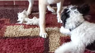 German Shepherd versus Maltipoo