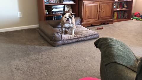 Bulldog Is Afraid of New Ball