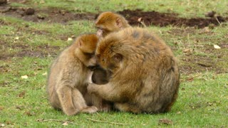 Monkey family together